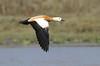 Ruddy Shelduck in flight by Wild Chroma