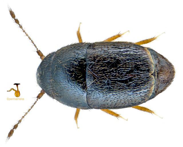 Acrotrichis montandonii (Allibert, 1844)