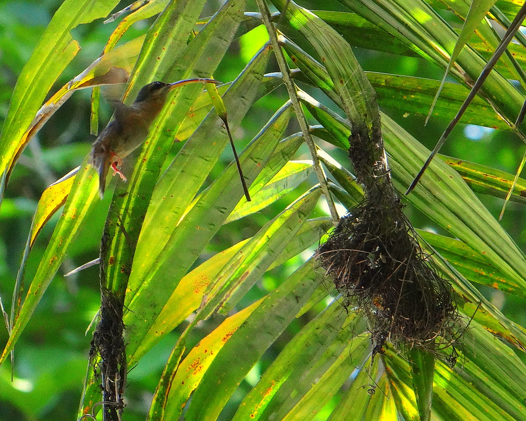 Ermitaño pecho canela [Rufous-breasted Hermit] (Glaucis hirsutus affinis)