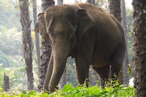 Tankahan, Sumatran Elephant