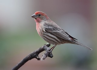 House Finch | by Wildreturn