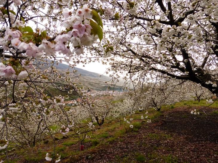 Valle del Jerte (50) | Cerezo en flor . El mayor espectáculo… | Flickr