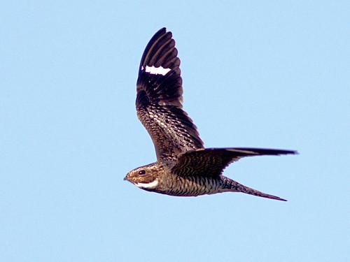 Common Nighthawk in flight 20170427
