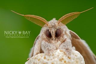 Puppy Moth - DSC_6670 | by nickybay
