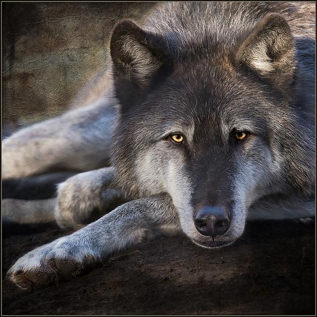 doug's wolf . . .