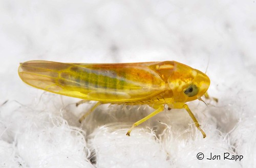 bug insect missouri leafhopper arboridiadiffisa