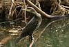 Great cormorant   -   Phalacrocorax carbo by Stein Rui , Manum