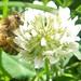 Honey bee on clover in trinity-bellwoods