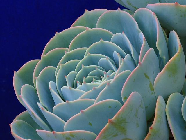Succulent_9267a
