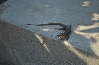 Lizard | by Angelo Hulshout