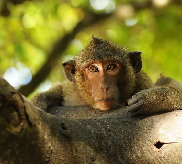 ,, Primate ,,