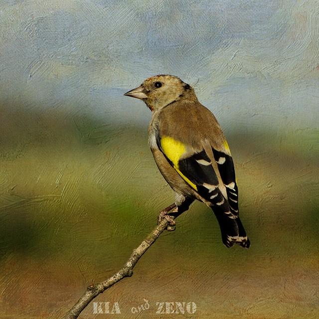 Juvenile European Goldfinch