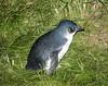 Little Penguin (Eudyptula minor) by jon ayres