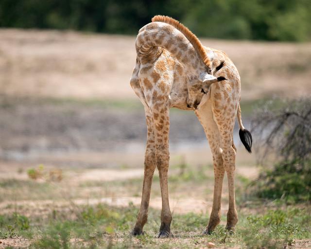 Giraffe, Giraffa camelopardalis, Kyle Game Park, Zimbabwe