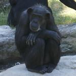 A chimpanzee watching me take photos