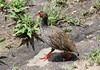 Red-necked Francolin or Red-necked Spurfowl (Pternistis afer) by Wayne W G