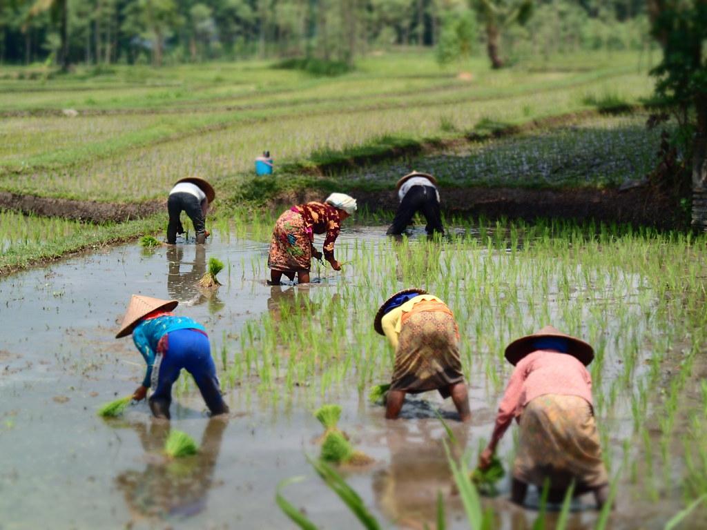 Rice paddy, Lombok, Indonesia
