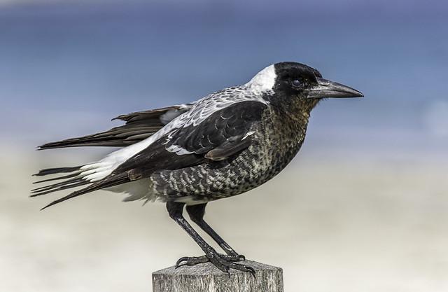 35/100: Australian Magpie