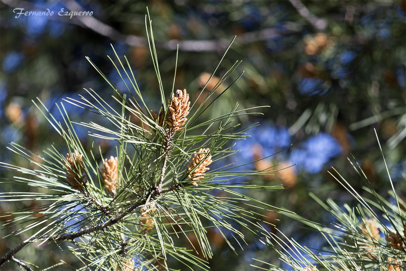 Flor de pino