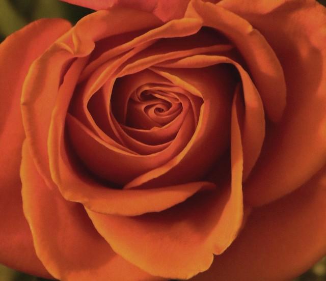 Rose - Coral