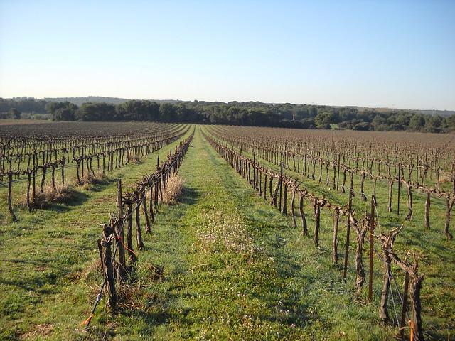 Vitis vinifera - vigne 33446130871_eaf5b54131_z