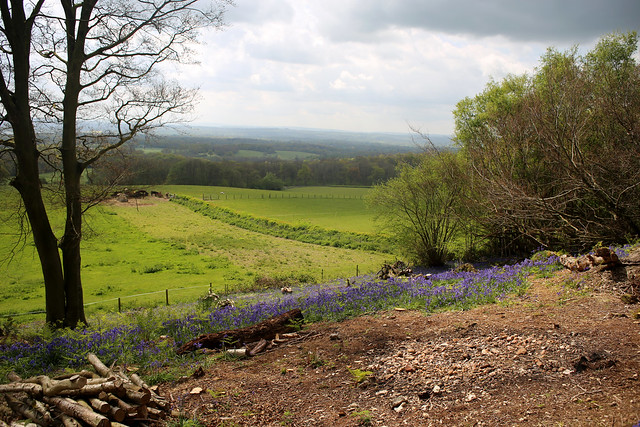 Bluebells at Toy's Hill