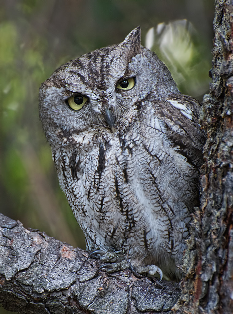 Western Screech Owl | Cute little owl sitting in the front ...