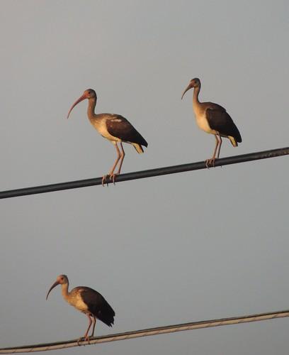 usa bird texas young creation juvenile americanwhiteibis