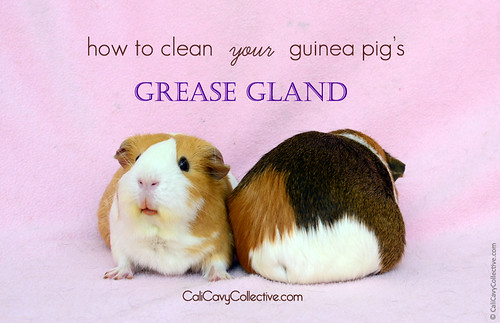 How to Clean Your Guinea Pig's Grease Gland | by Cali Cavy Collective