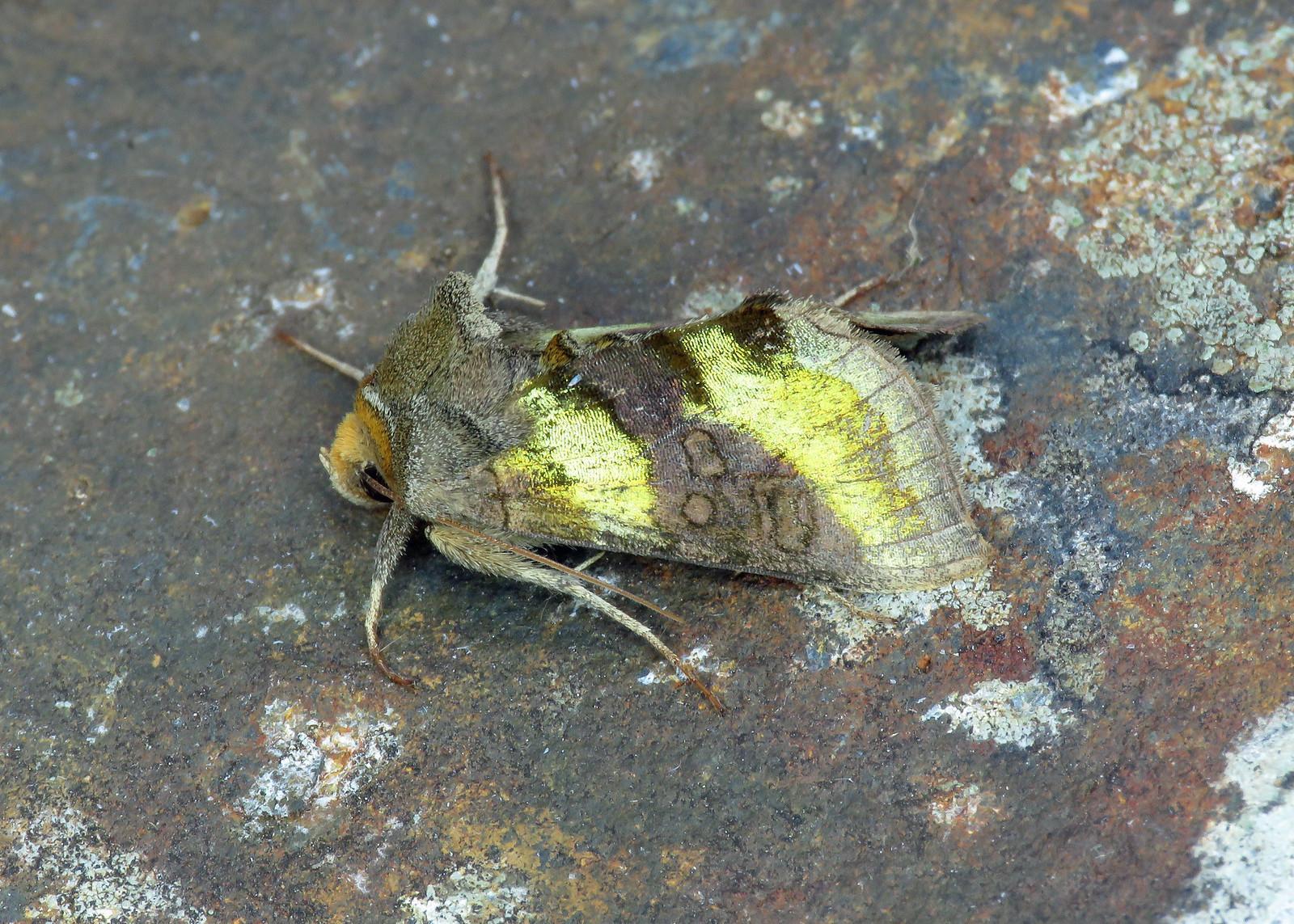 73.012 Burnished Brass - Diachrysia chrysitis