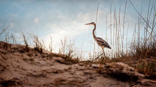 2016 ameliaisland atlanticocean bird december dunes florida fortclinchstatepark heron landscape landscapephotography nature naturephotography outdoors park photography pier saltmarsh seascape unitedstates vacation cloudy digital greatblueheron overcast
