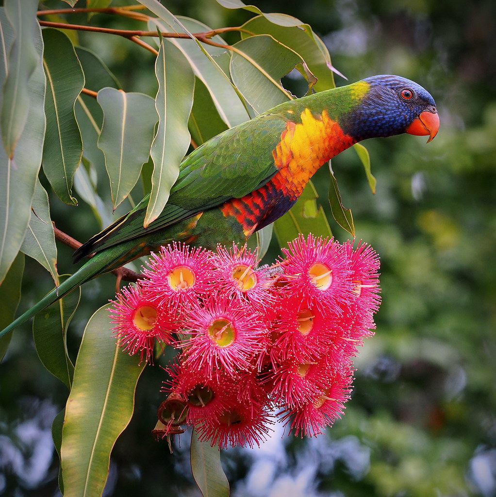 Rainbow Lorikeet In A Gum Tree This Australian Parrot Is T Flickr