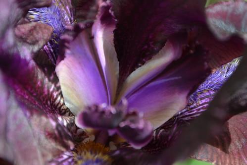 Nos Iris : floraisons 2012 32819222315_9072c66477