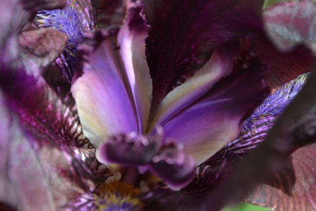 Iris bitone sombre bourgogne - Lilou [identification en cours] 32819222315_9072c66477_z