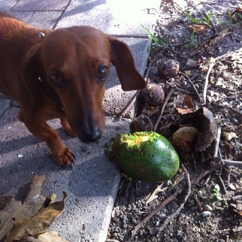 #avocado eating #dog. Today at #SFSPCA #rescue ranch #floridalife #dogsknowbest