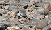 Ibisbill by Thomas.Gut