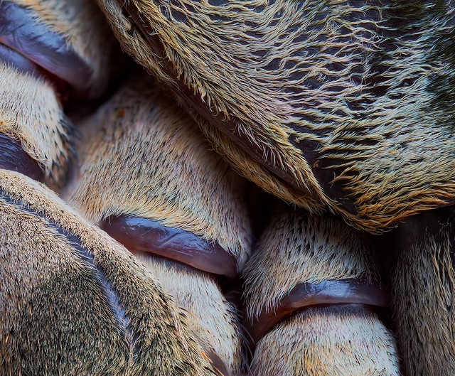 Heteroscodra maculata adult female, 5-inch