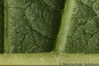 Ponsettia leaf stomata test two | You can download or view M