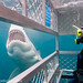 Great White Shark Diving 2014