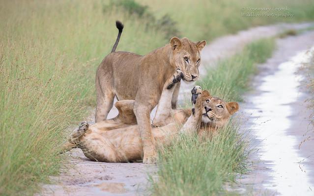Lions - Male- Panthera Leo - Image 4 of 8