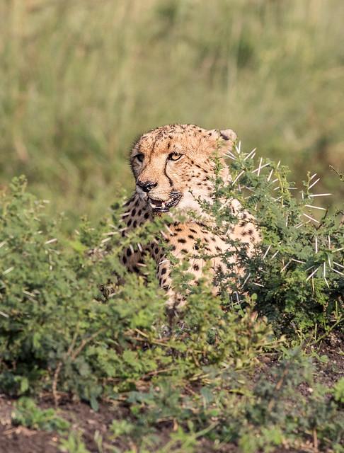 Cheetah in search of food, Pilanesberg National Park