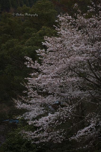 桜(Cherry Blossoms)