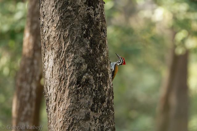 Pic de Shore-Dinopium shorii - Himalayan Flameback(Explore 16.04.2017) 4925_DxO.jpg