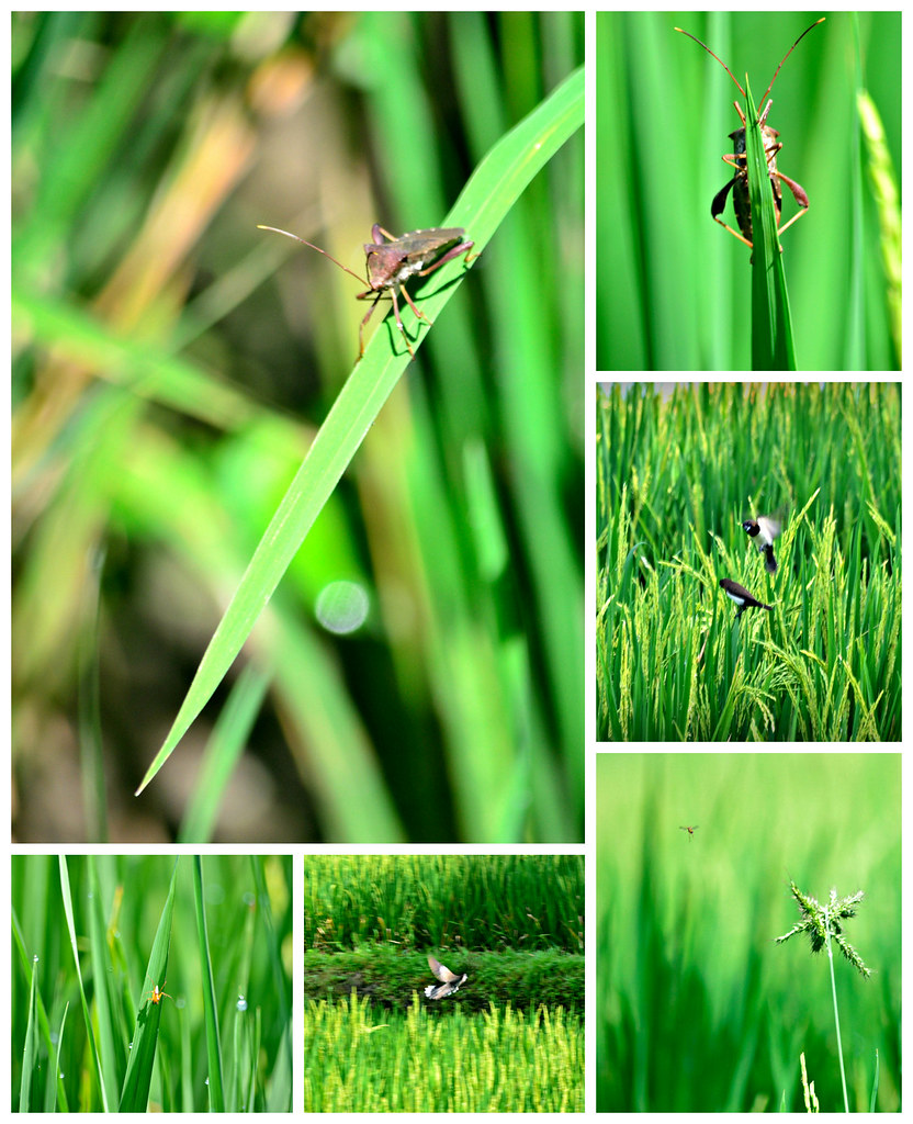 things you can find in a ricefield