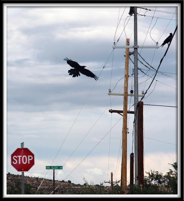 Crows on Owl Slick Road