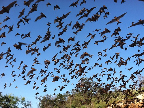 Mexican free-tailed bats | by USFWS Headquarters