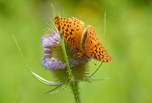 butterfly thistle macedonny ganaruacreekmeadowpreserve