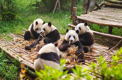 Panda! 🐼 cover image