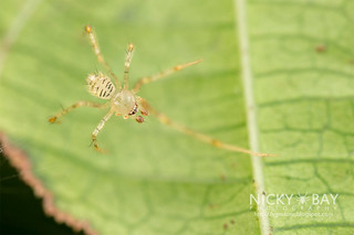 Comb-Footed Spider (Theridiidae) - DSC_0861