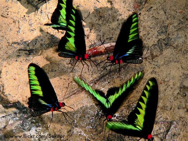 Rajah Brookes Birdwing Butterfly, Gunung Mulu National Park, Sarawak Borneo